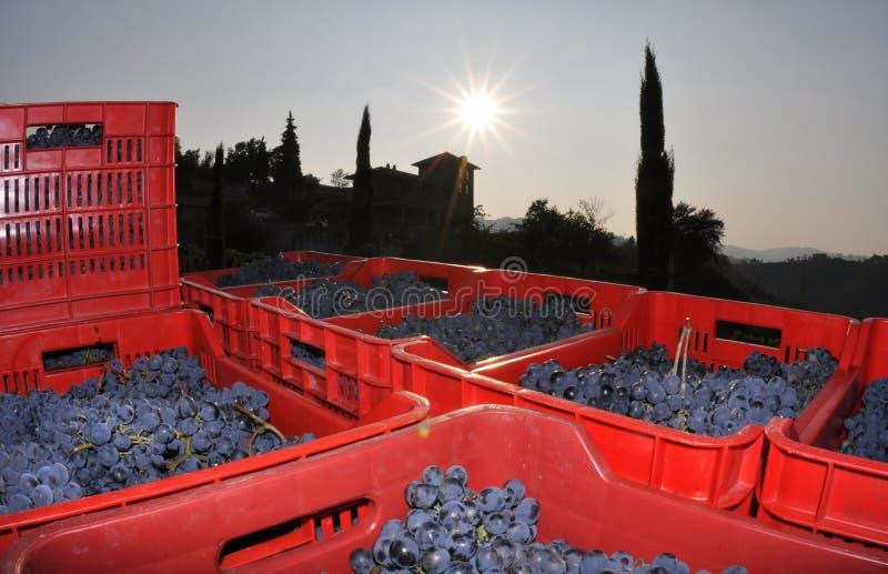 Vinodling i Piedmont royaltyfri bild