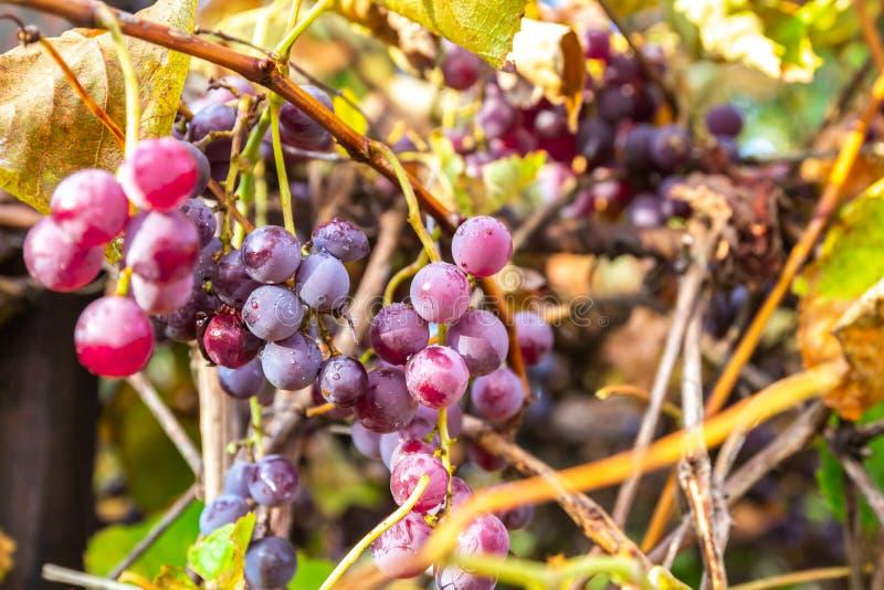 Vinodlingar under hösten skördar Ripe-druvor i fall fotografering för bildbyråer