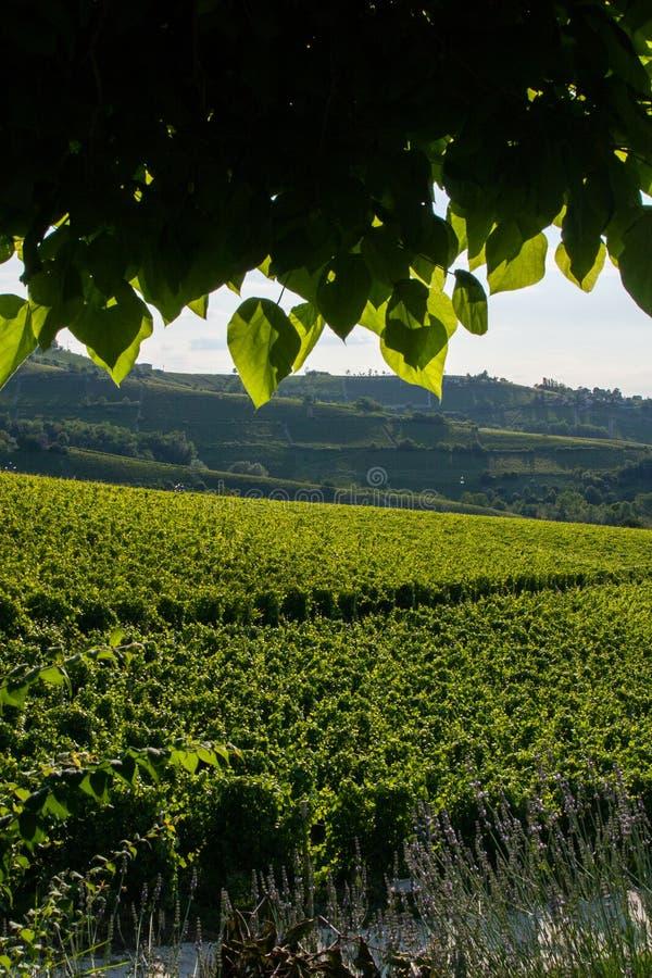 Vinodlingdruvafält från under en trädskugga arkivfoton