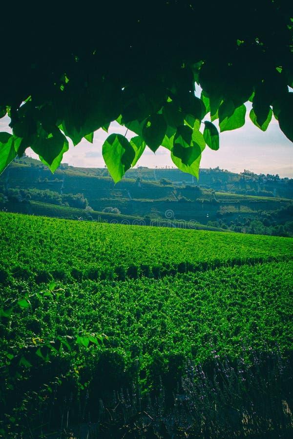 Vinodlingdruvafält i Italien royaltyfri fotografi