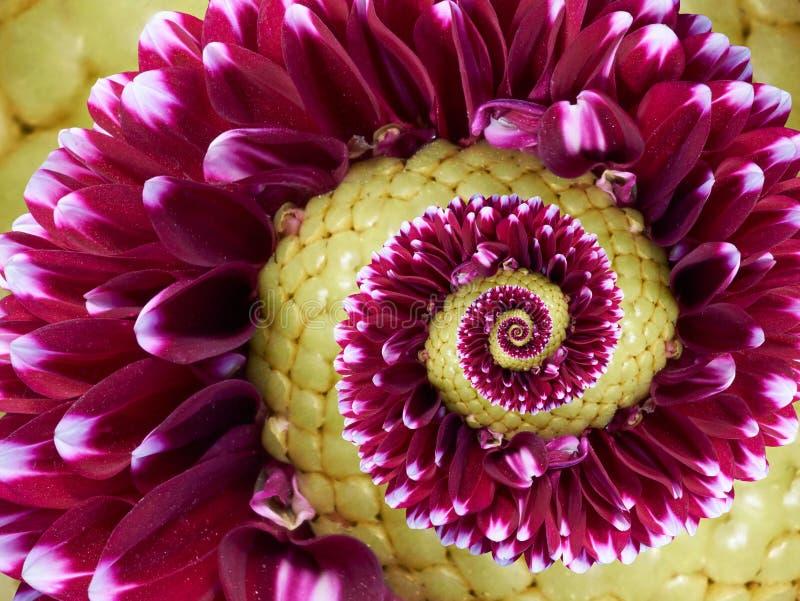 Vinous bakgrund för modell för effekt för fractal för abstrakt begrepp för spiral för vinosegulingblomma Blom- fractal för spiral arkivfoto