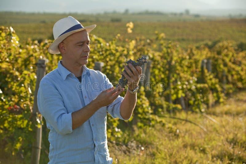 Vinproducent som ser druvagruppen som gör kvalitets- kontroll royaltyfri bild