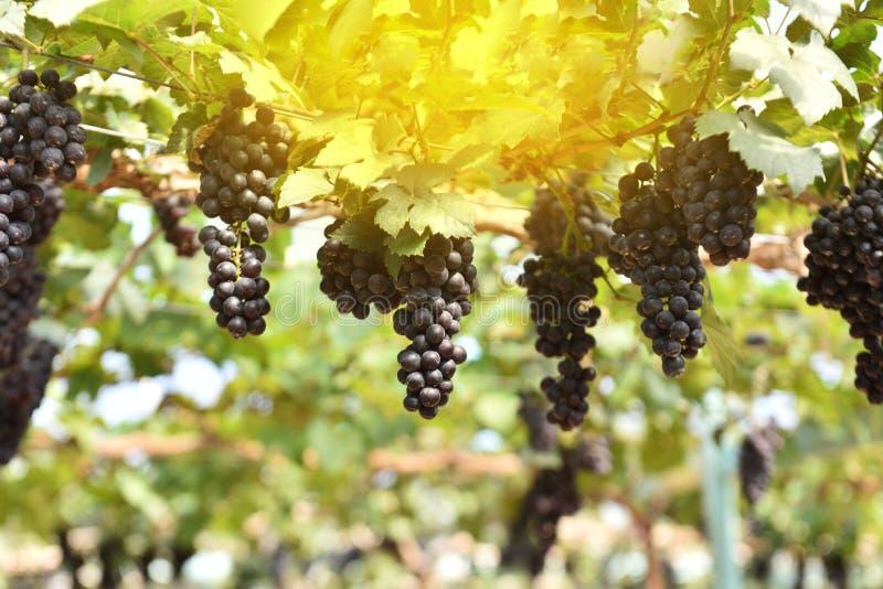 Vinranka av druvor under solen arkivbild
