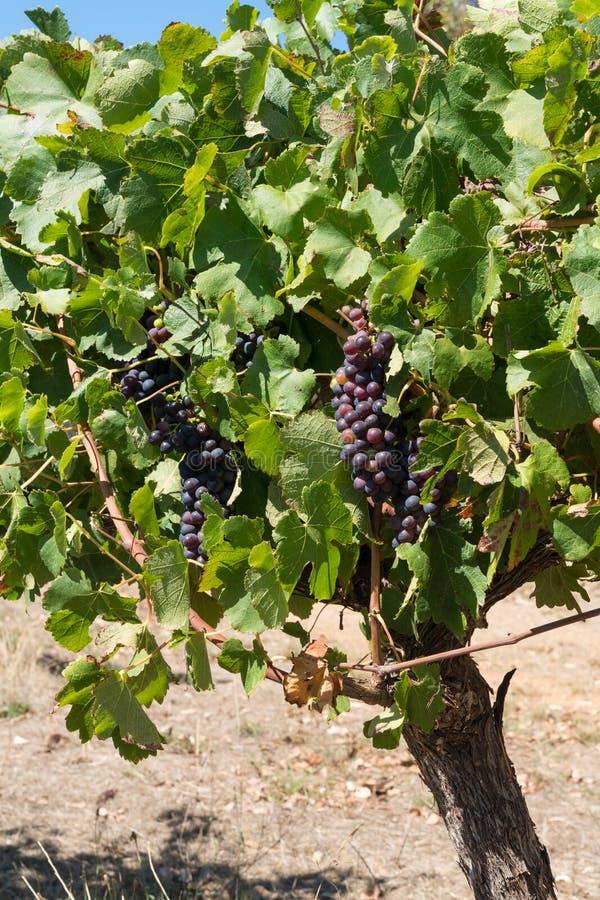 Vinranka för gemensam druva, vitis - vinifera royaltyfri bild