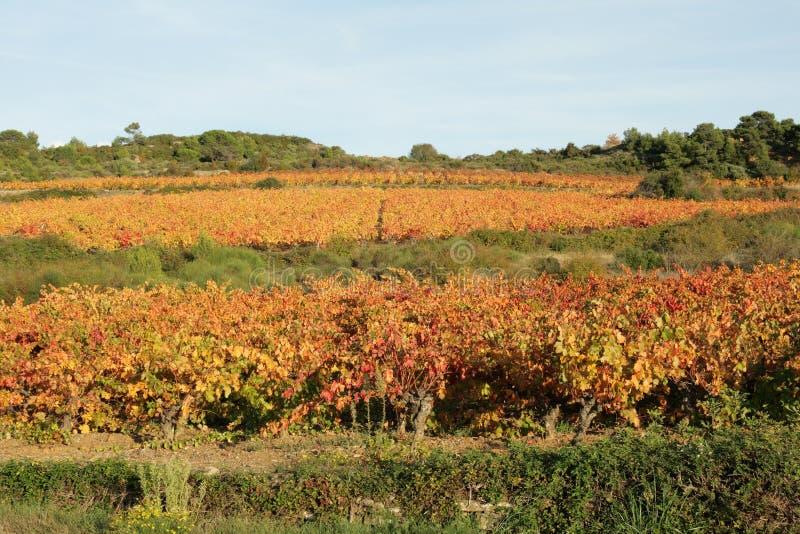 Vinranka i Minervois, Frankrike royaltyfri fotografi