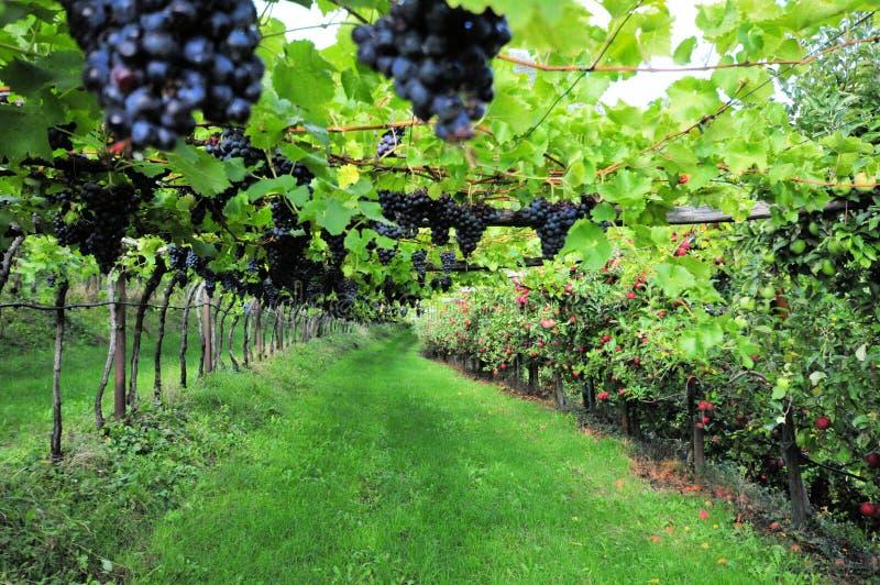 Vinranka med blåa frukter i Italien fotografering för bildbyråer