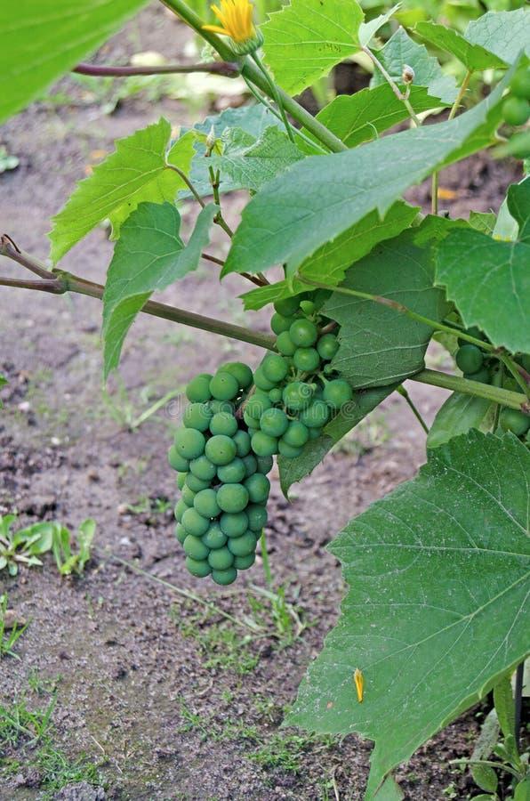 Vinranka med en grupp av druvor i sommar arkivbild