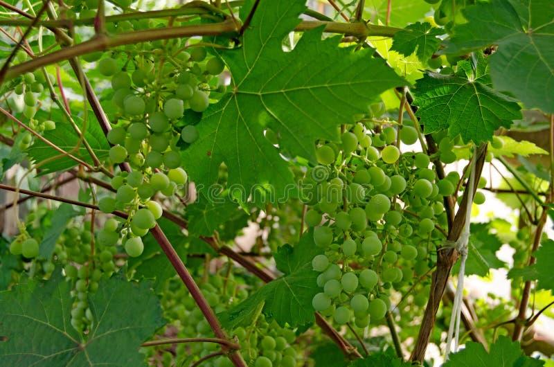 Vinranka med en grupp av druvor i sommar royaltyfri bild