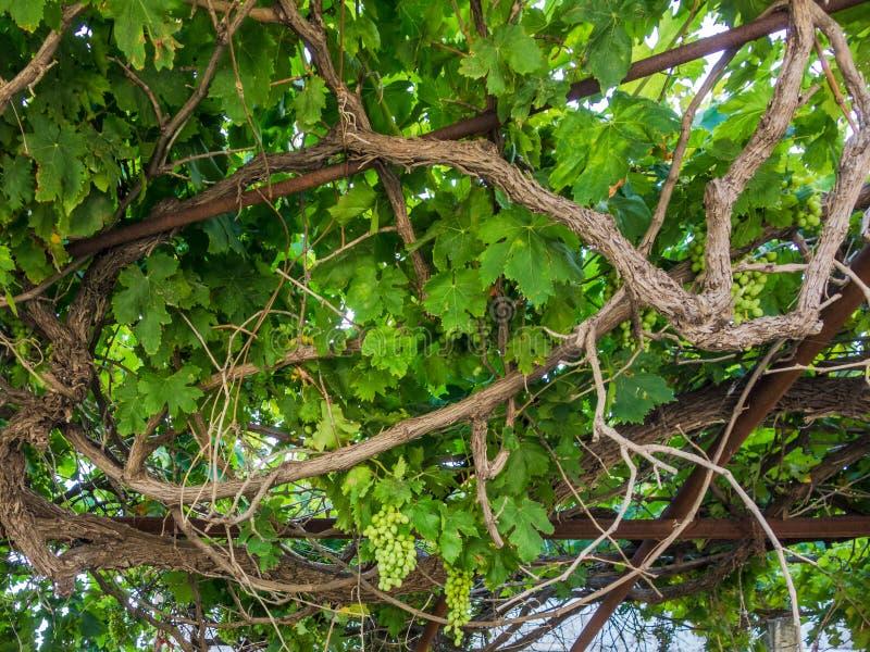 Vinranka med omogna druvor på terrasstaket fotografering för bildbyråer