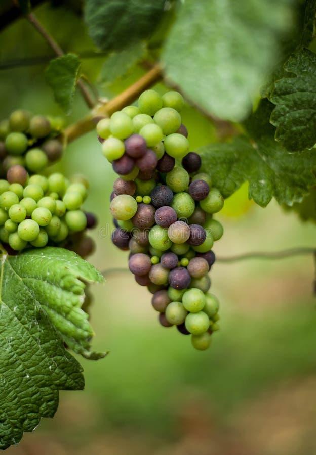 Vinranka med omogna gröna och blåa druvor tysk ving?rd arkivfoton