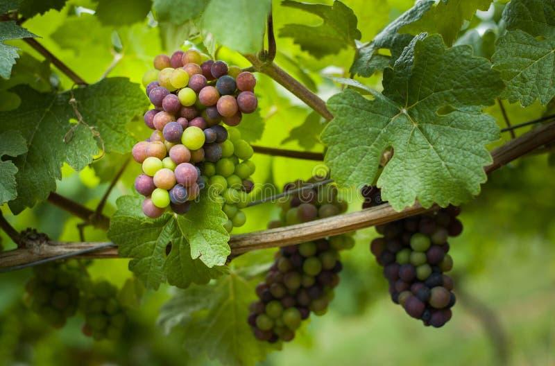 Vinranka med omogna gr?na och bl?a druvor tysk ving?rd royaltyfria bilder