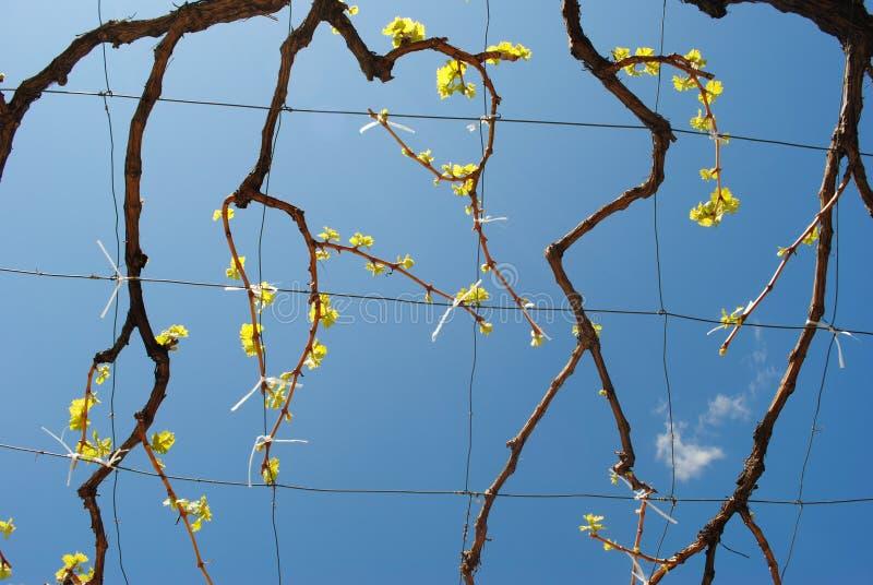Vinranka mot den blåa himlen royaltyfria bilder