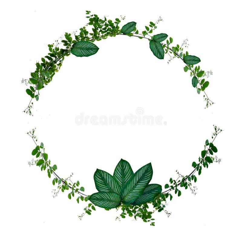 Vinranka- och bladmonsteracirkel av isolater som används i designgränsramen som göras av gröna den isolerade klättringväxten på v royaltyfri illustrationer
