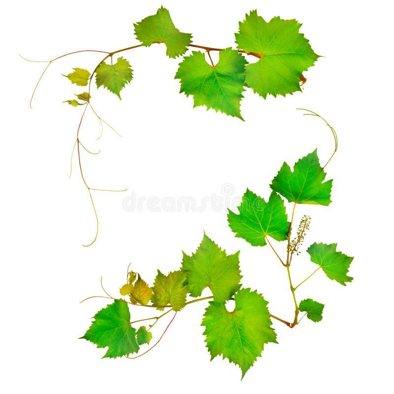 Vinranka och sidor arkivfoton