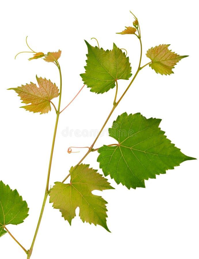 Vinranka och sidor på vit bakgrund arkivfoton