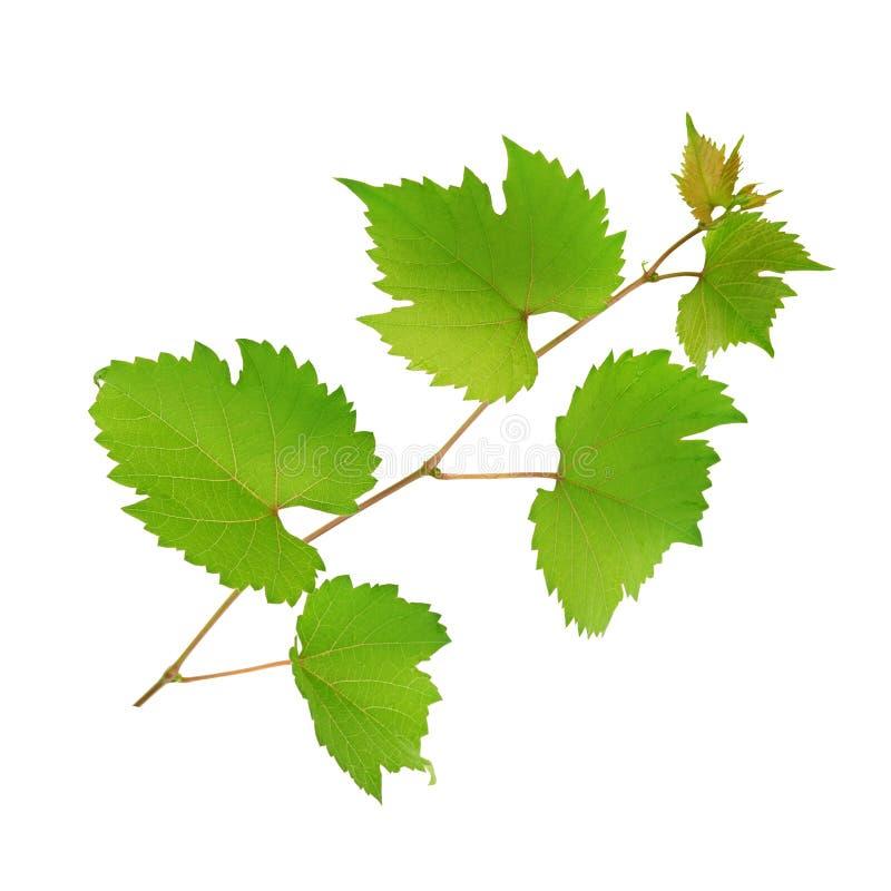 Vinranka och sidor som isoleras på vit arkivfoton