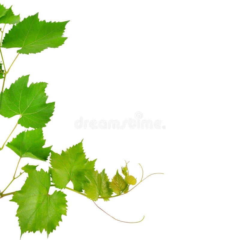 Vinranka och sidor som isoleras på vit Fritt avstånd för text royaltyfri fotografi