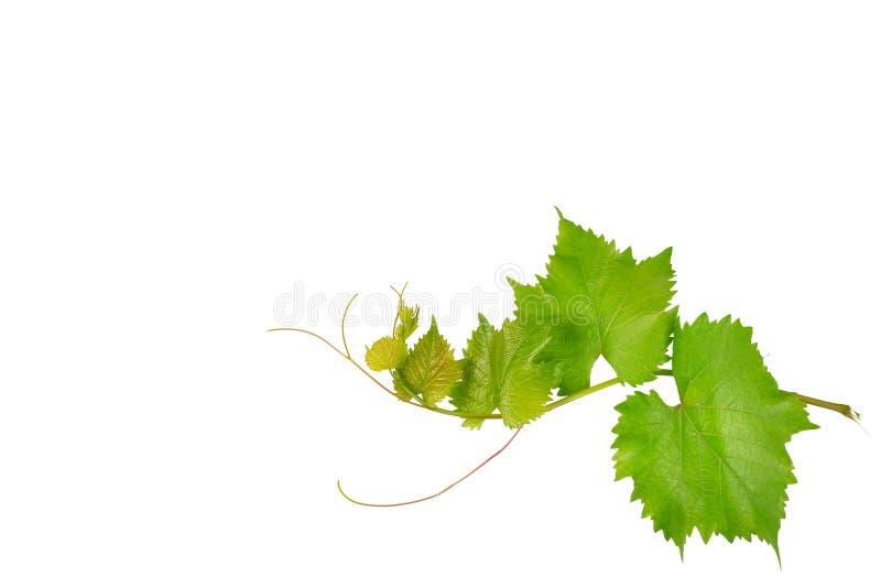 Vinranka och sidor som isoleras på vit Fritt avstånd för text fotografering för bildbyråer