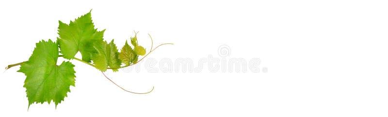 Vinranka och sidor som isoleras på vit Fritt avstånd för text Bred ph royaltyfria foton