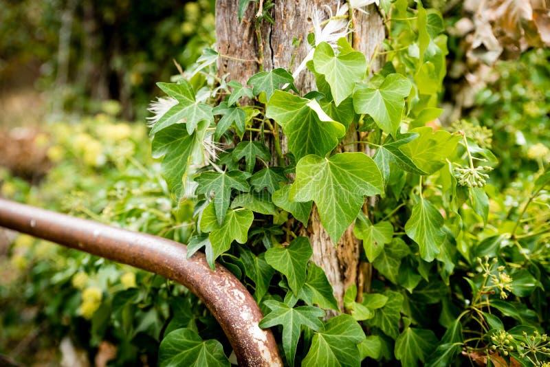 Vinranka som omringar en staketstolpe med den rostiga porten arkivfoto