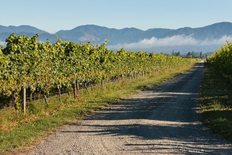 Vinranka som växer i vingård arkivbilder
