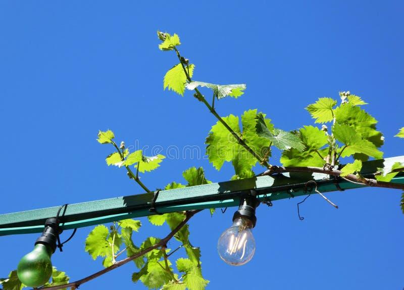 Vinranka som växer på utomhus- ljus mot en blå himmel royaltyfri fotografi