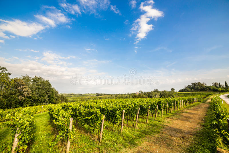 Vinrankafält i den italienska bygden fotografering för bildbyråer