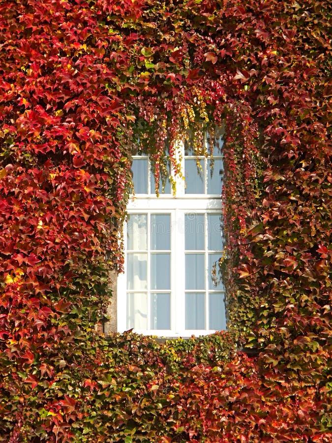 vinrankafönster royaltyfri foto