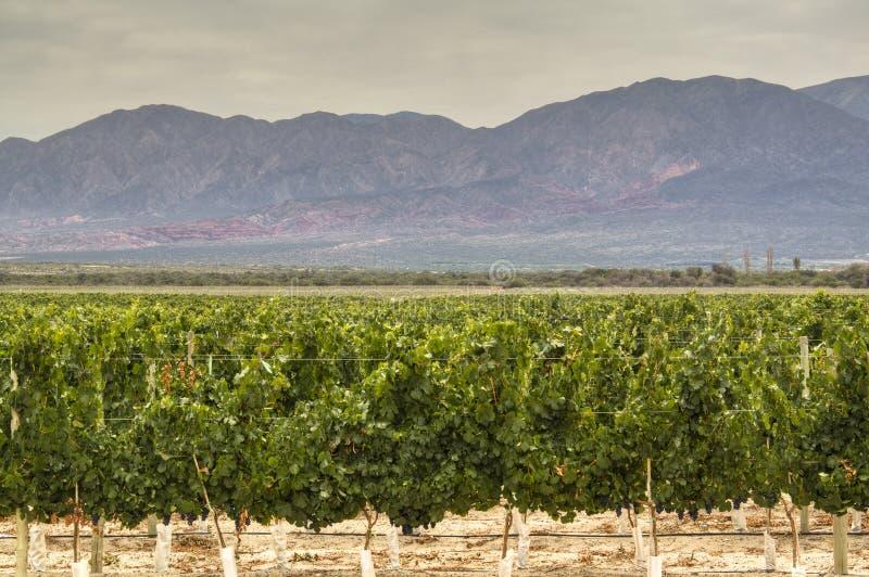 Vinrankagårdar i Cafayate arkivbilder