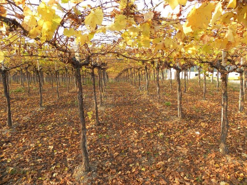 Vinrankakoloni i hösten arkivbilder