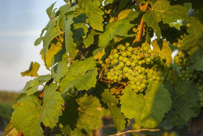 Vinrankamateriel med gruppen av druvor och blå himmel och sol royaltyfria bilder