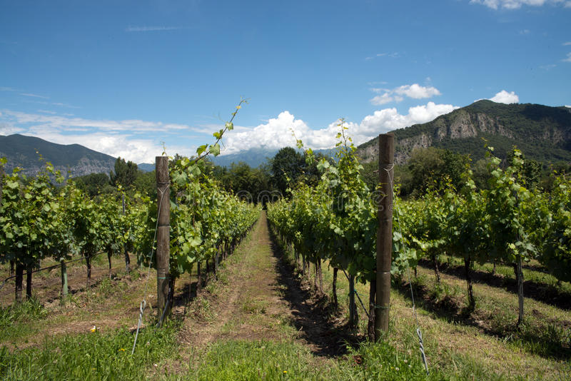 Vinrankarader - Italien, Franciacorta royaltyfria foton