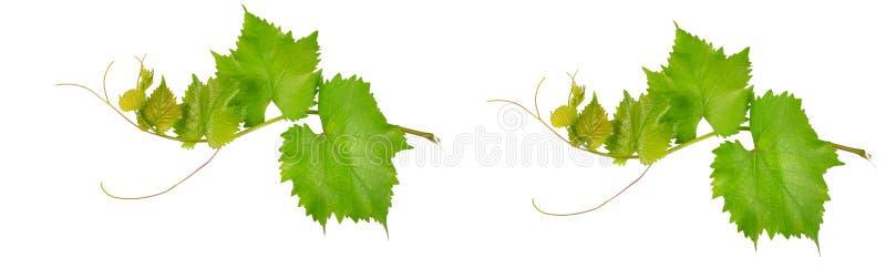 Vinrankasidor som isoleras på vit Brett foto royaltyfri fotografi