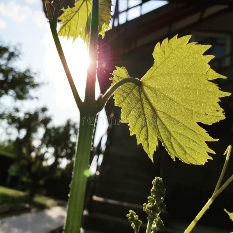 Vinrankaväxt i solen royaltyfri foto