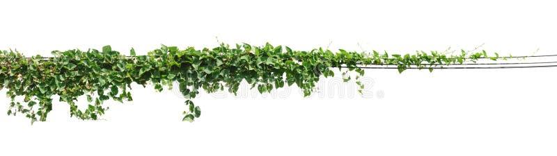 Vinrankaväxt, murgrönasidaväxt på poler som isoleras på den vita backgrouen arkivbild