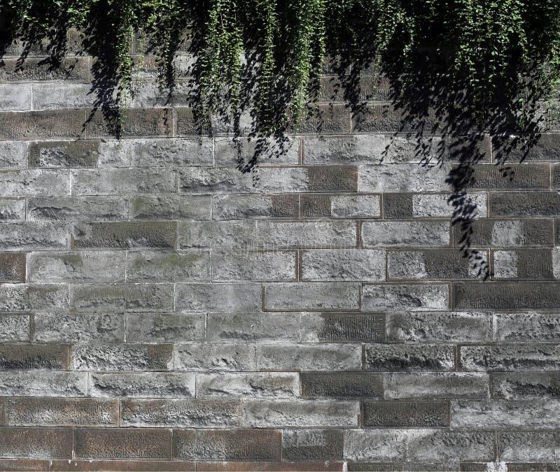 Vinrankor för grön riden ut tegelplattavägg som och för grön växt hänger på det royaltyfri bild