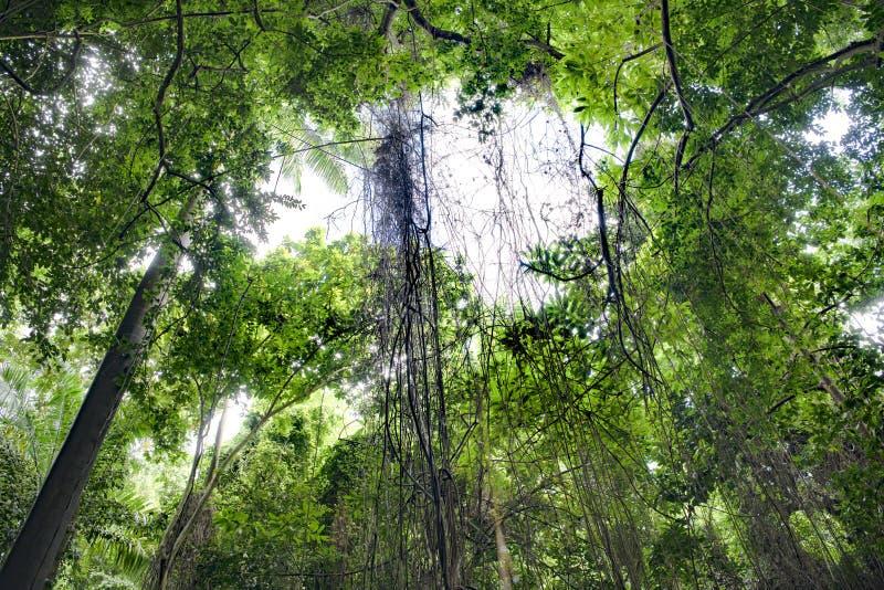 Vinrankor i tropisk djungelskog, Barbados arkivbild
