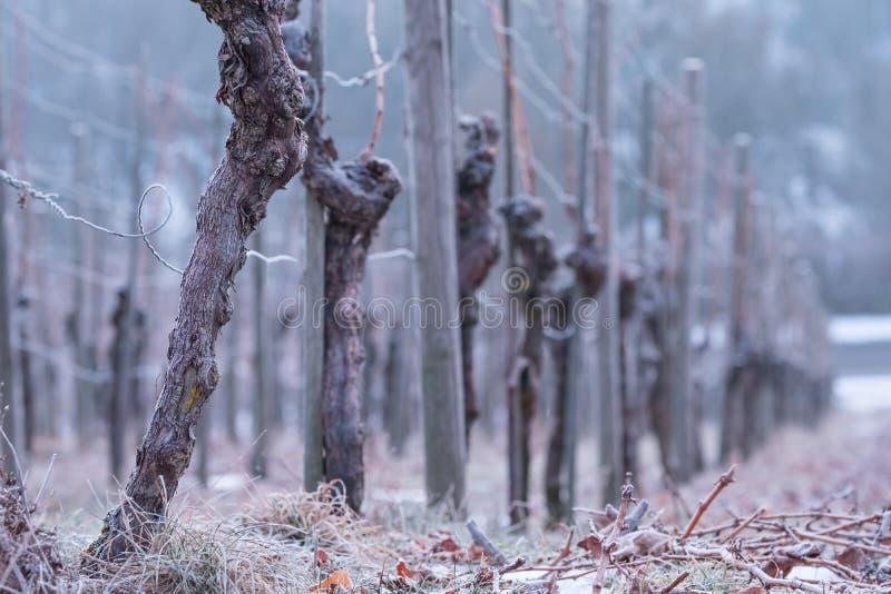 Vinrankor med det knotiga skället i en vingård royaltyfria bilder