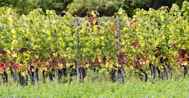 Vinrankor med färgglad lövverk royaltyfria bilder