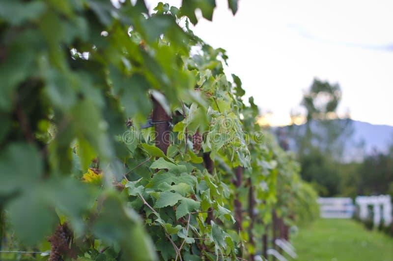 Vinrankor på vingården royaltyfri fotografi