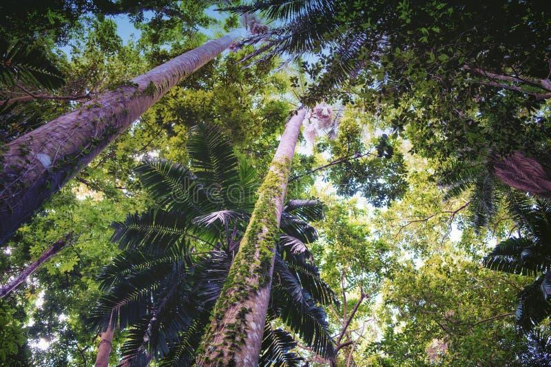 Vinrankor som upp kryper stammar i djungelskog i Tropes royaltyfri bild