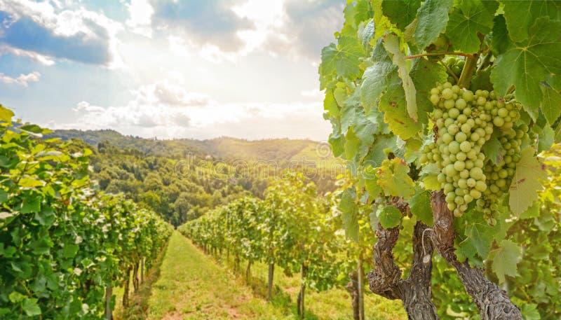 Vinstockar på en vingård med vita druvor under sommaren, höglandskap i jordbruket nära vinodling på vinvägen, Steiermark, Österri arkivbild