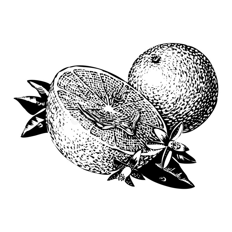 Vintage 1950s Oranges. Vintage 1950s etched-style oranges; detailed black and white from authentic hand-drawn scratchboard stock illustration