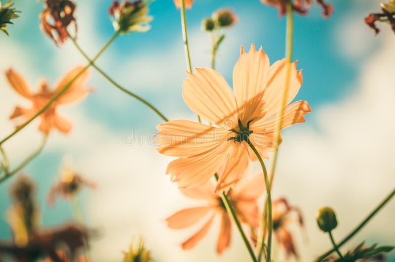 Vintage amarelo da flor do cosmos foto de stock