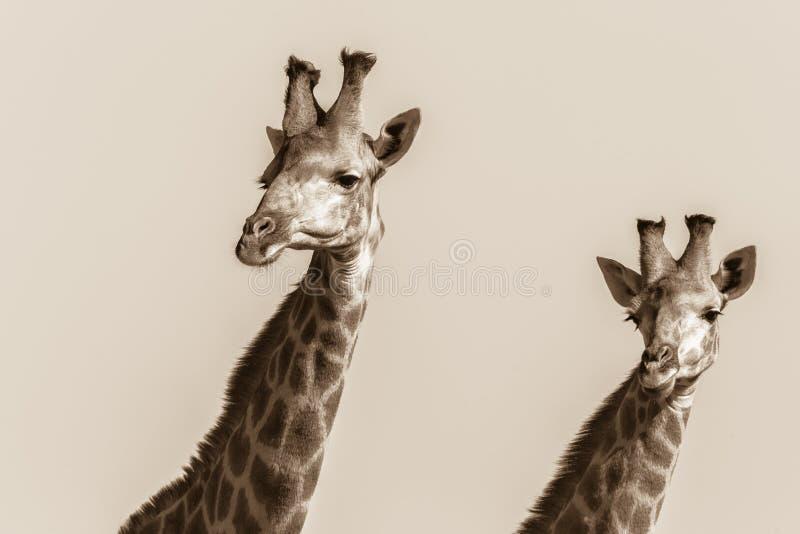 Vintage animal de sépia de plateau de girafes de faune image stock