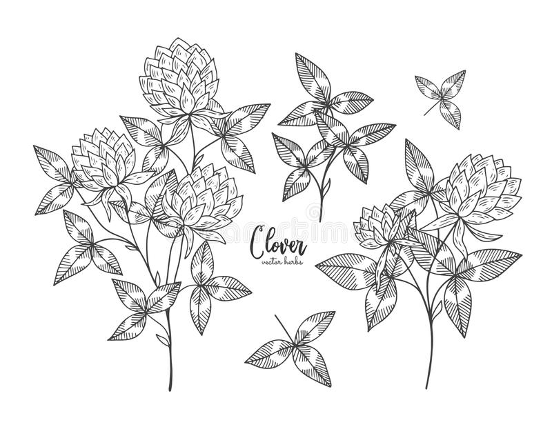 Vintage botanical engraving illustration of clover. Beauty and spa, cosmetic ingredient. Design elements for promotion, advertisin royalty free illustration