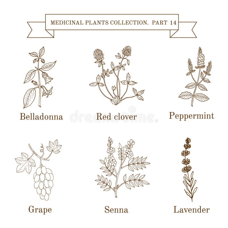 Vintage collection of hand drawn medical herbs and plants, belladonna, red clover, peppermint, grape, senna, lavender royalty free illustration
