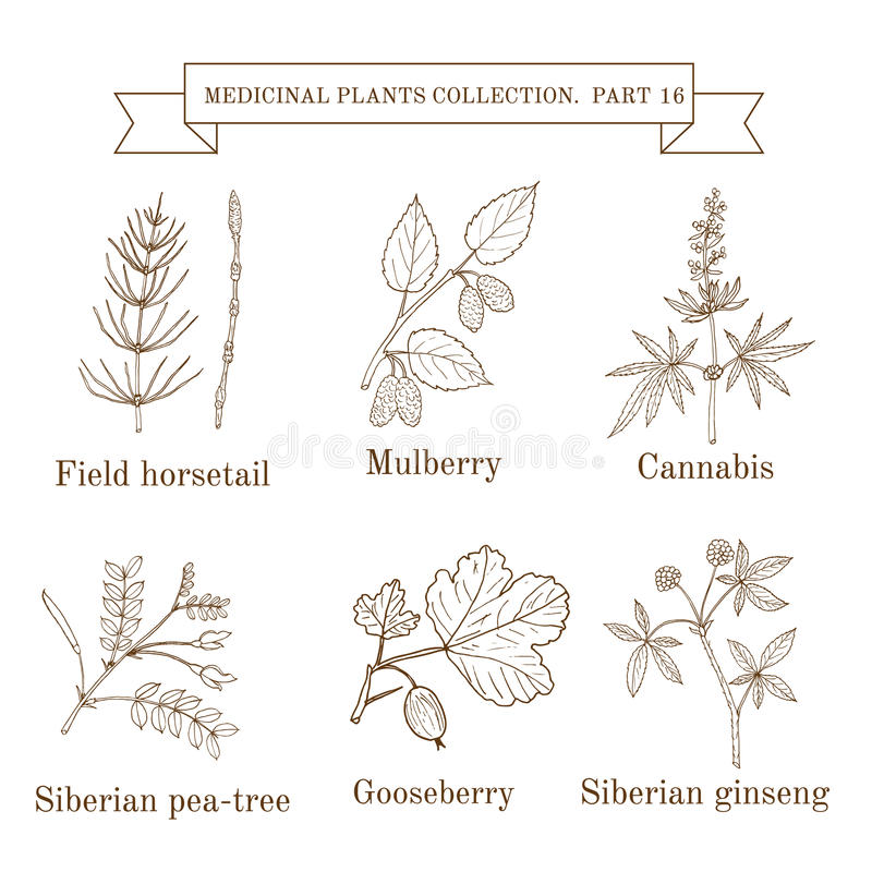 Vintage collection of hand drawn medical herbs and plants, field horsetail, mulberry, cannabis, siberian pea-tree stock illustration