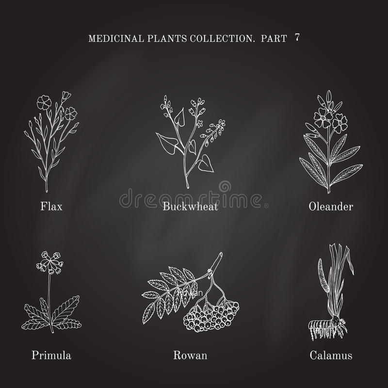 Vintage collection of hand drawn medical herbs and plants flax, buckwheat, oleander, primula, rowan, calamus vector illustration