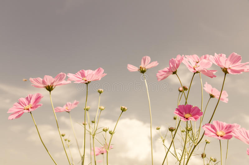 Vintage color cosmos flower. Vintage color style cosmos flower in the garden royalty free stock photos